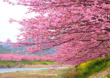 La saison des cerisiers est arrivée au Japon: Quand la nature déroule son tapis rose, elle nous en met plein la vue