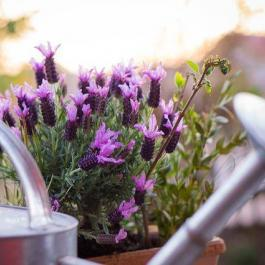 """Ces plantes """"répulsives"""" éloignent les guêpes et les moustiques de votre terrasse..."""