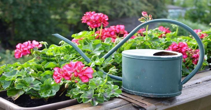 Obtenez des fleurs en abondance dans vos géraniums grâce à ces conseils judicieux
