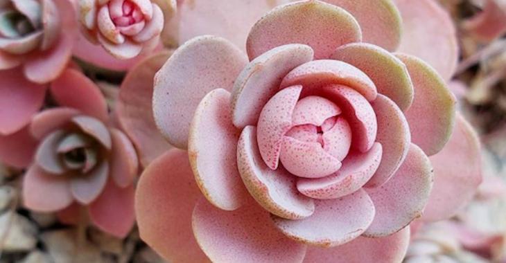 6 plantes succulentes roses que vous aurez envie d'avoir à la maison