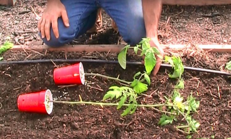 Voyez ce qui se passe lorsque vous plantez vos plants de tomates couchés plutôt que debout...