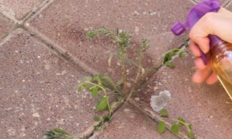 Faites un dernier ménage des mauvaises herbes avant l'arrivée du froid: tuez-les toutes en une nuit!